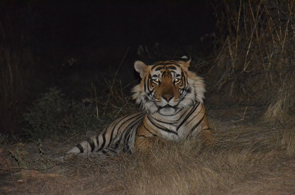 T42 Tiger at Ranthambore