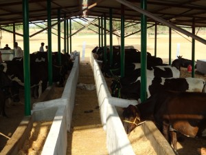 cattle-shed1